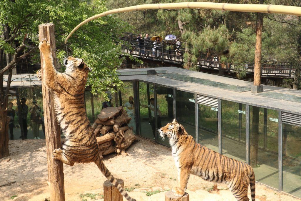 周末游园感悟—从老虎捕食的过程看金融市场交易